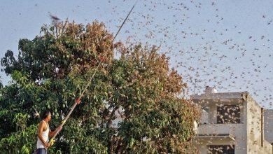 heuschreckenangriff:-warum-sich-pakistan-als-brutstaette-fuer-winzige-pflanzenfressende-insekten-herausstellt-|-erklaert